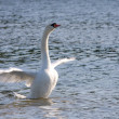 White swan is standing in shallow water — Stock Photo