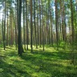 Coniferous forest - 