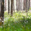 Stock Photo: Spring morning in coniferous forest