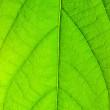 Green leaf — Stock Photo #1616652