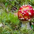 Fly agaric — Foto Stock