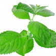 Green mint isolated over white - Stock Photo