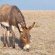 Donkey and steppe - Stock Photo