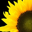 Beautiful sunflower isolated over black — Stock Photo