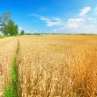 Field of wheat — Stock Photo #1617452