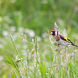 Stock Photo: Beautiful little bird goldfinch stay at