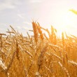 Grain in a farm field and sun - Stock Photo
