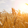 Grain in a farm field and sun - Foto Stock