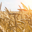 Stock Photo: Grain in a farm field and sun