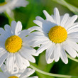 White garden camomiles - Stock Photo