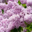 Lilac whit leaves — Stock Photo