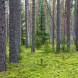 Coniferous forest — Stock Photo #1617625