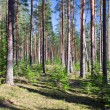Coniferous forest — Stock Photo #1617628