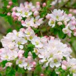 Stock Photo: Blossom apple tree