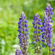 Field of lupine flowers - Foto Stock