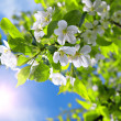 branch blossom apple tree and blue sky w — Stock Photo