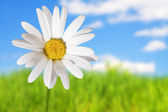 White daisies on blue sky and green gras — Stock Photo