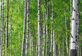 Spring green birch forest — ストック写真