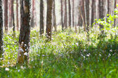 Spring morning in coniferous forest — Stock Photo