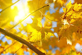 Autumn yellow leaves of maple and sun — Stock Photo
