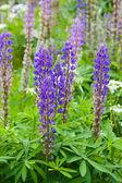 Gebied van lupine bloemen — Stockfoto