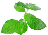 Green mint isolated over white — Stock Photo