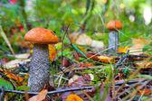 Jadalne grzyby w lesie — Zdjęcie stockowe