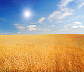 Field of wheat with shining sun — Stock Photo