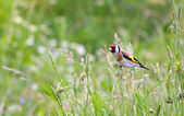 Beautiful little bird goldfinch stay at — Stock Photo