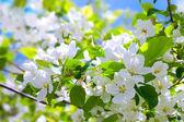 Blossom apple tree — Stock Photo