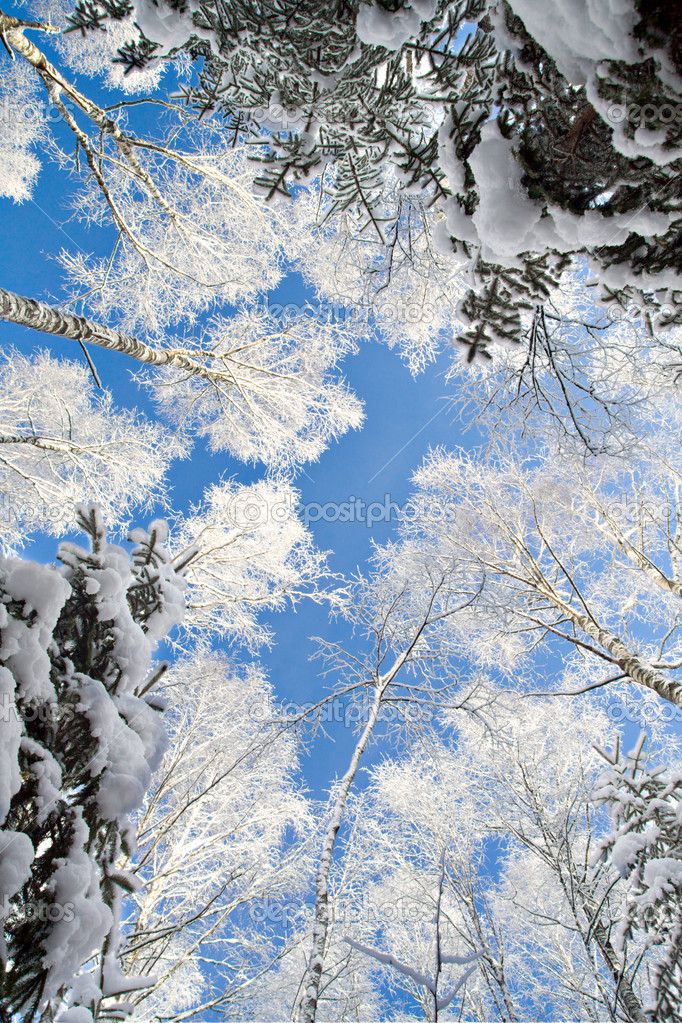 Blue sky in beautiful winter forest — Stock Photo #1615787