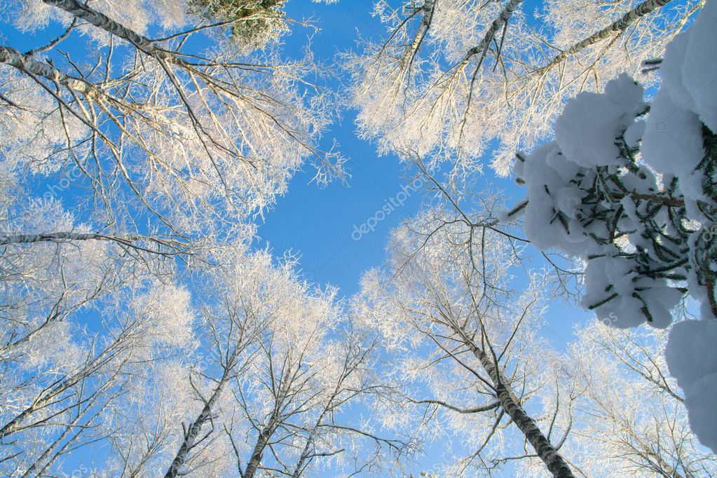 Blue sky in beautiful winter forest — Stock Photo #1615901
