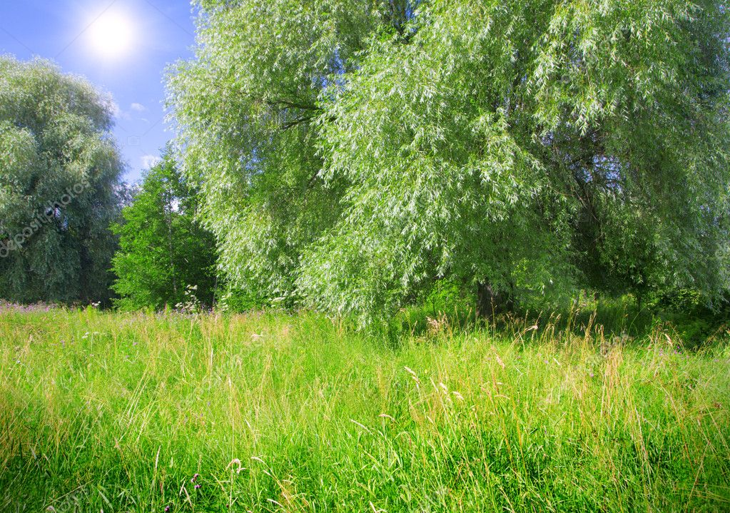 Weeping willow and meadow  Stock Photo #1615945