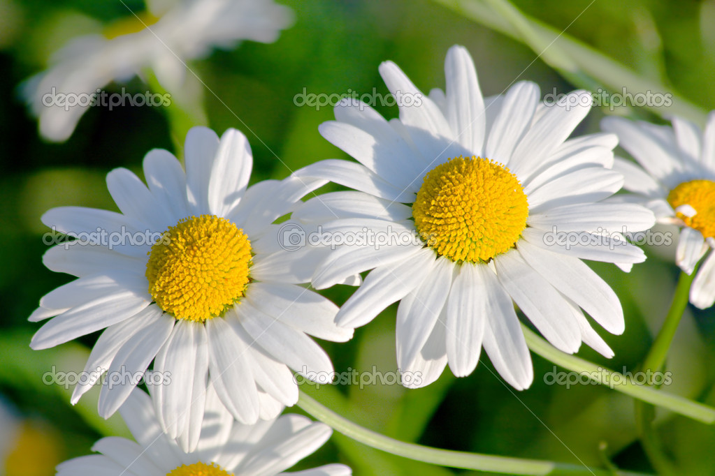 White garden camomiles  Stock Photo #1617538