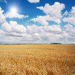 Stock Photo: Field of wheat and beautiful blue sky