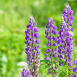 Foto de Stock  : Field of lupine flowers