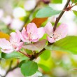 Blossom apple tree — Stock Photo