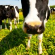 Cow in a pasture — Stock Photo