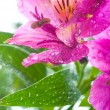 Alstroemeria/ Flower and drop dew — Stock Photo