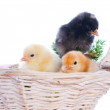 Cute baby chicks, over white background - Stock Photo