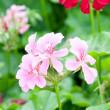 Stock Photo: Geranium flowers and plants useful
