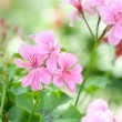 Geranium flowers and plants useful - Stock Photo