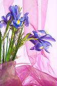 Spring purple flowers irises — Stock Photo