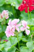 Gerani e piante utili — Foto Stock