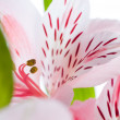 Alstroemeria — Stock Photo #2095129