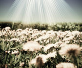 Field of dandelions of the sky — Stock Photo