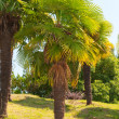 Palm tree — Stock Photo #2256815