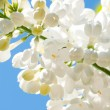 Stock Photo: Cherry tree branch in bloom