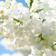 Cherry tree branch in bloom — Stock Photo #2273718