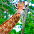 Giraffe's head - Stock Photo